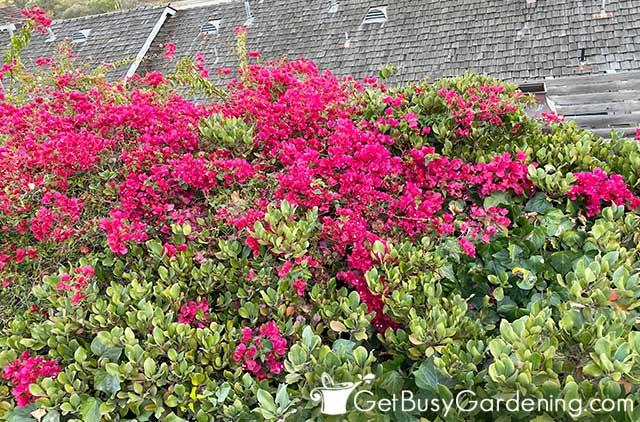 Planta de buganvillas trepadoras que cubren un enrejado