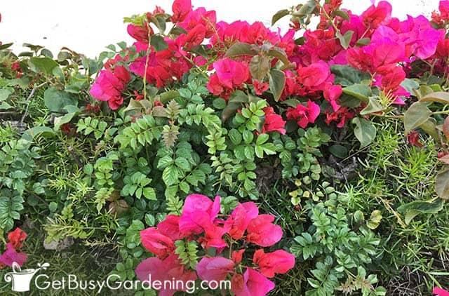 Hermosas flores de buganvilla rosa fuerte
