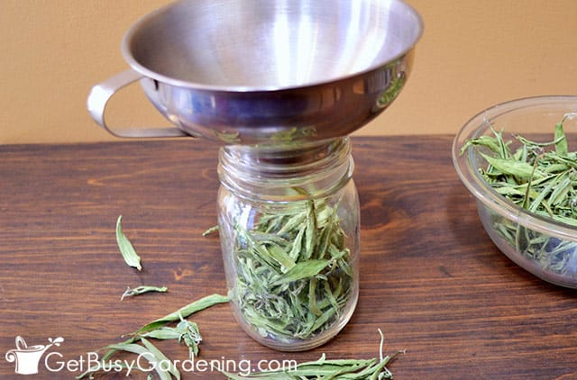 Packing stevia leaves into a jar
