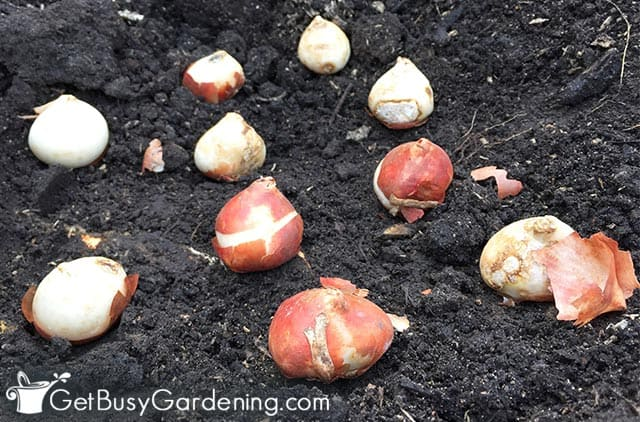 Planting fall bulbs for spring flowers