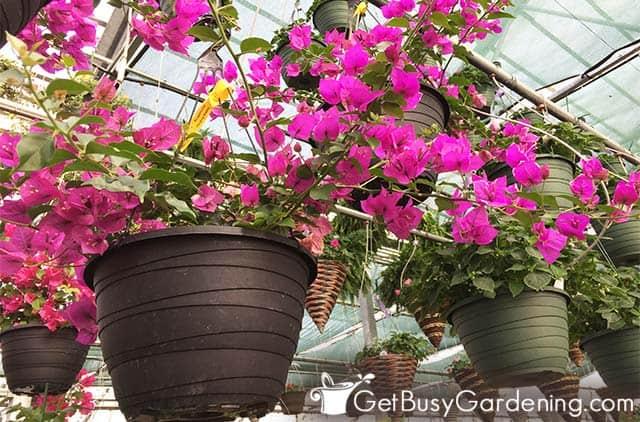 Pequeñas buganvillas plantadas en contenedores colgantes