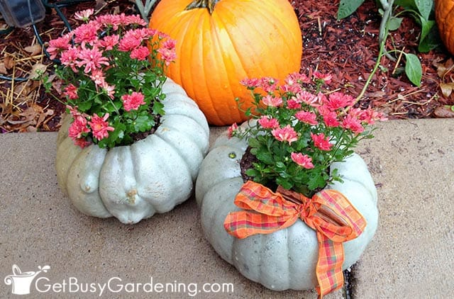 Adorable fall decorated mums inside pumpkins