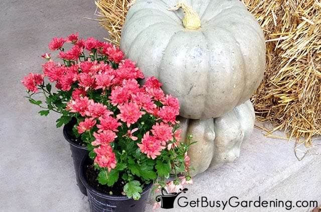 Choosing a mum and pumpkins combo