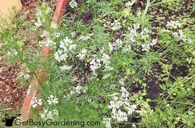 Cilantro flowering in my garden