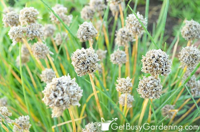 Dry chive flowers filled with seeds