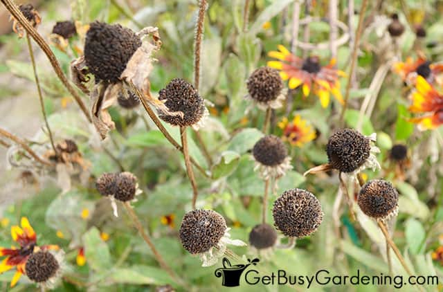 Flower heads forming seeds