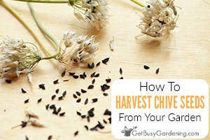 How To Harvest & Collect Chive Seeds