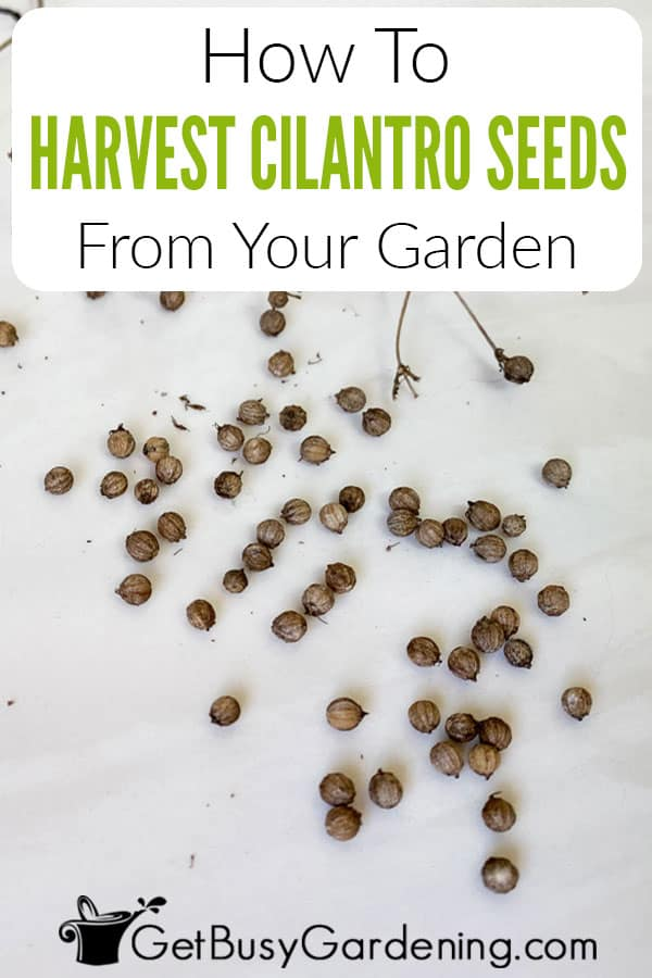How To Harvest Cilantro Seeds From Your Garden