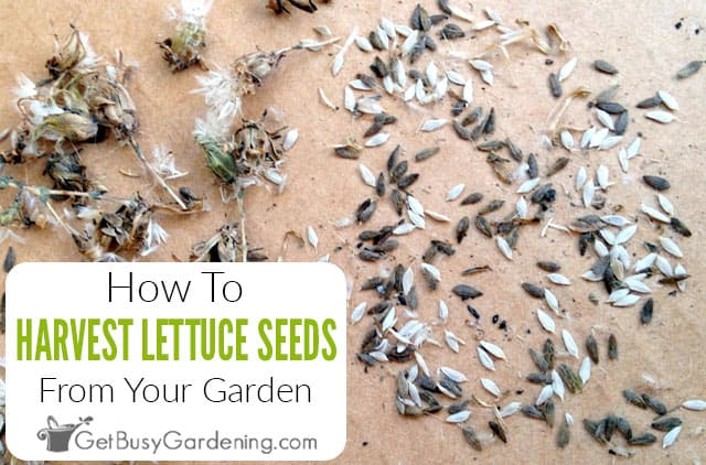 How To Harvest & Get Lettuce Seeds