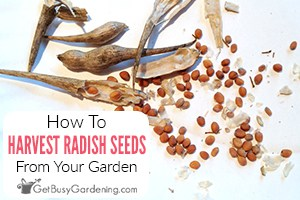 How To Harvest & Save Radish Seeds