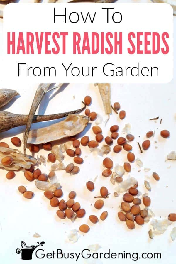 How To Harvest Radish Seeds From Your Garden