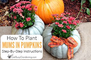 How To Plant A Mum In A Pumpkin Step By Step