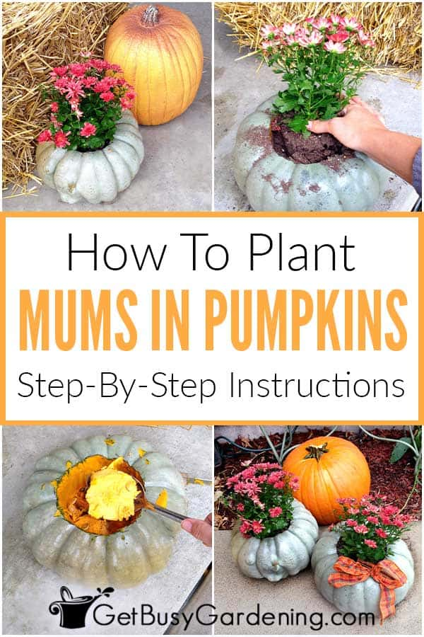 How To Plant Mums In Pumpkins Step-By-Step Instructions
