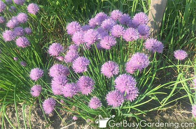 My chive plant in full bloom