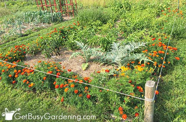 Healthy vegetable garden made using the no dig method