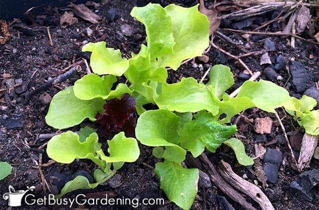 Baby lettuce seedlings in my garden
