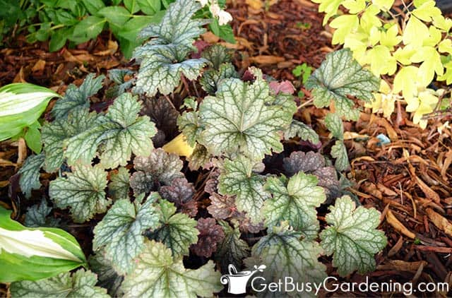 Coral bells are colorful plants for shade
