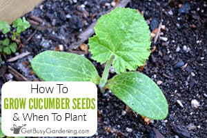 How To Grow Cucumbers From Seeds & When To Plant
