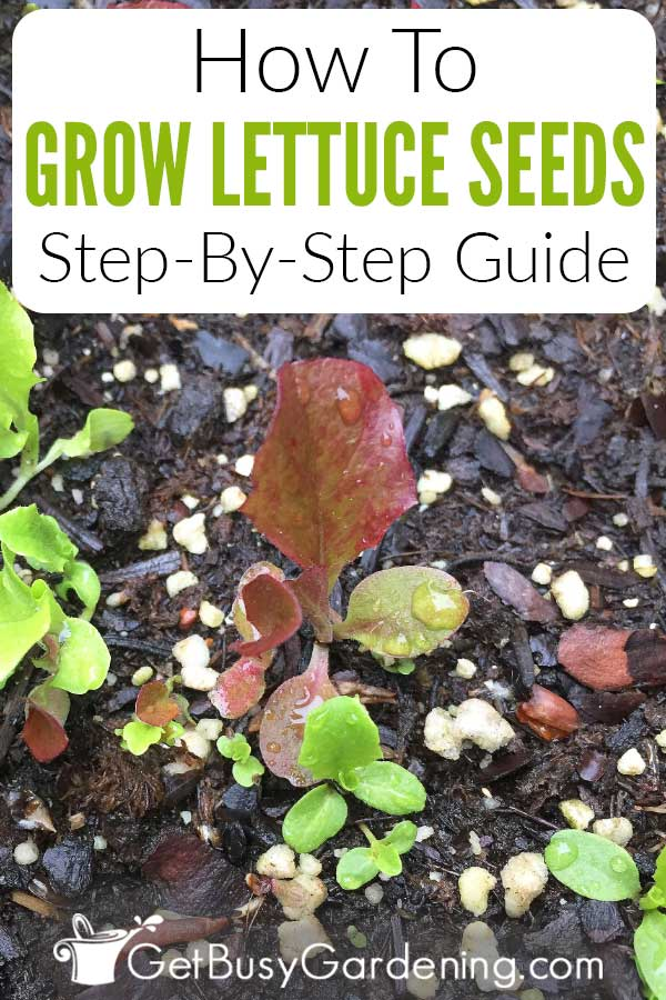 How To Grow Lettuce Seeds Step-By-Step Guide