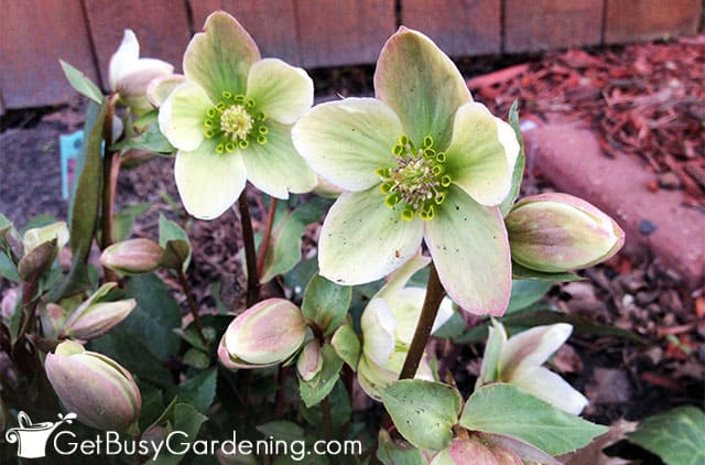 Helleborus are beautiful blooming plants for shade