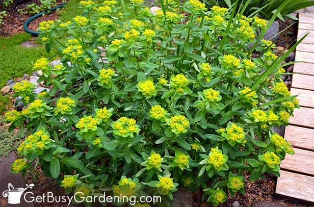 Spurges are partial shade garden plants