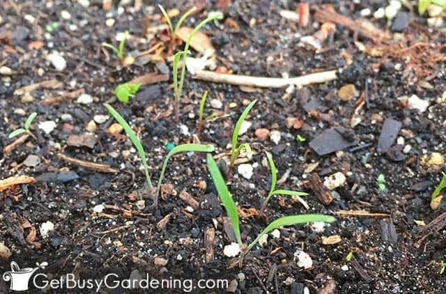 Carrot seedlings germinating