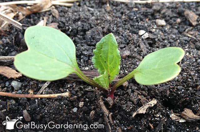 First true leaves on radish seedling