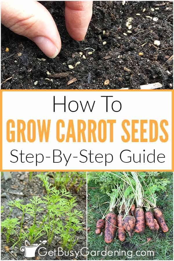 How To Grow Carrot Seeds Step-By-Step Guide