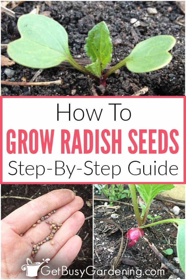How To Grow Radish Seeds Step-By-Step Guide