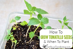 How To Grow Tomatillos From Seed & When To Plant