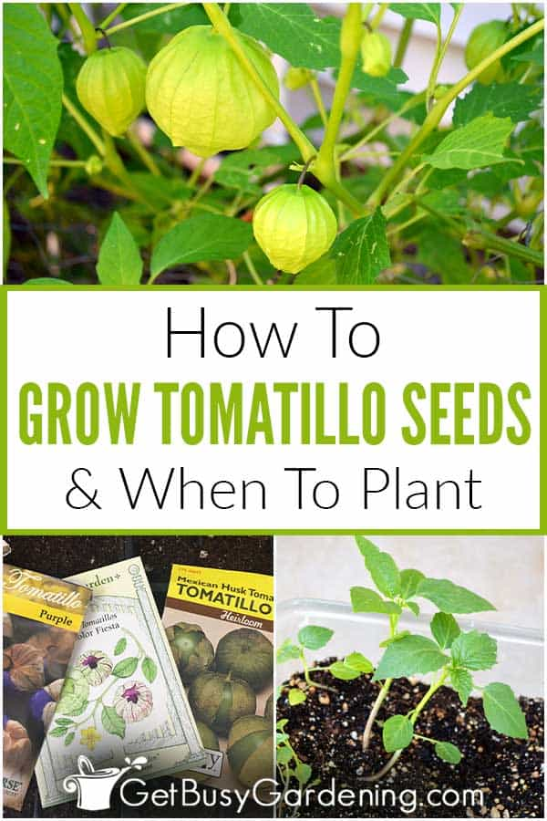 How To Grow Tomatillo Seeds & When To Plant