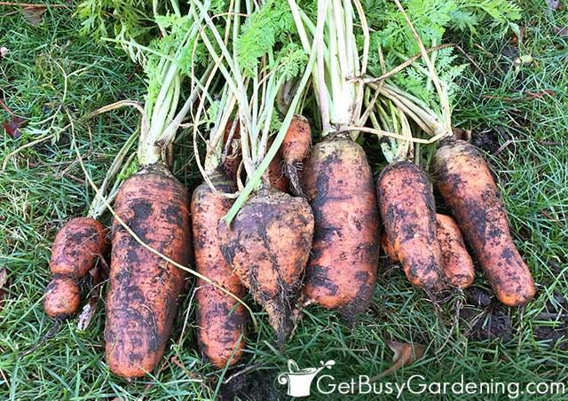 Mature carrots from my garden