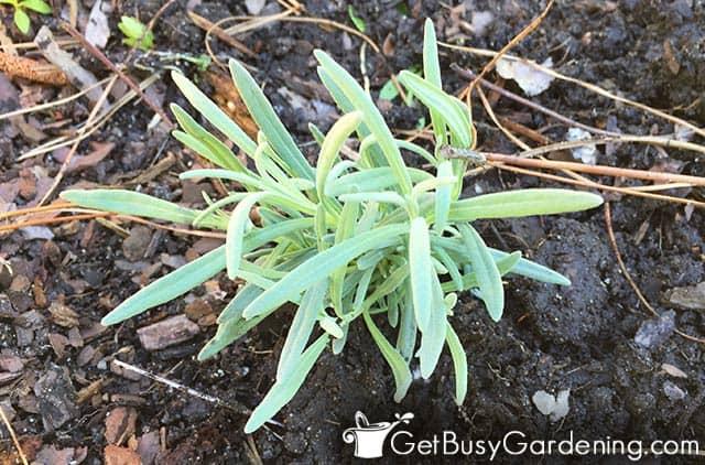Transplanting lavender seedlings outdoors