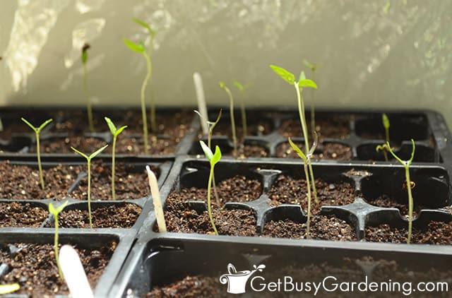 Leggy seedlings under artificial lights