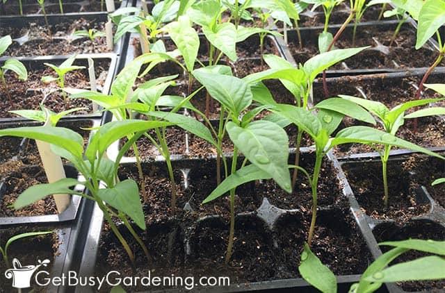 Strong healthy seedlings grown under lights