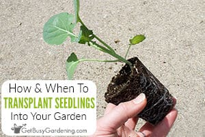 How & When To Transplant Seedlings Into Your Garden (Everything You Need To Know)
