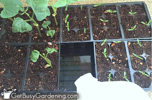 Watering seedling trays from bottom to prevent mold