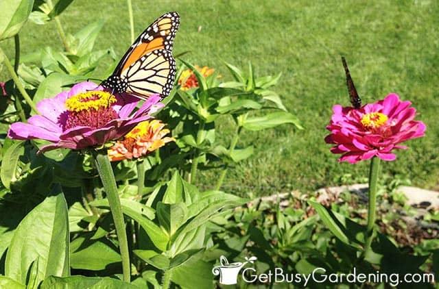 Butterflies feeding on nectar in the garden