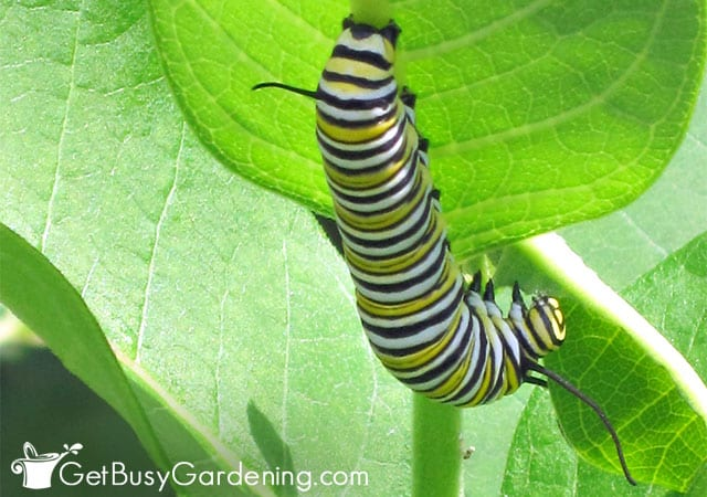 Monarch caterpillar feeding on milkweed plant