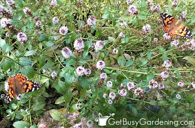 Painted lady butterflies on mint plant flowers