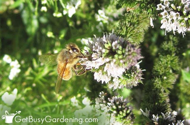 Bees feeding on mint flowers