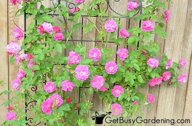 Bright pink climbing rose blooms