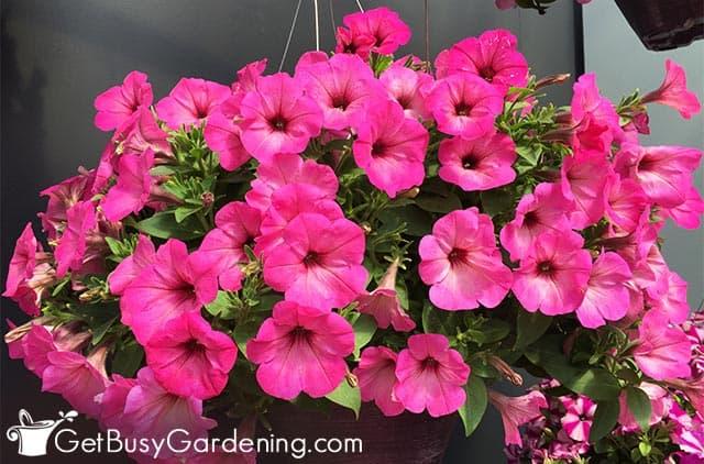 Dark pink annual petunias