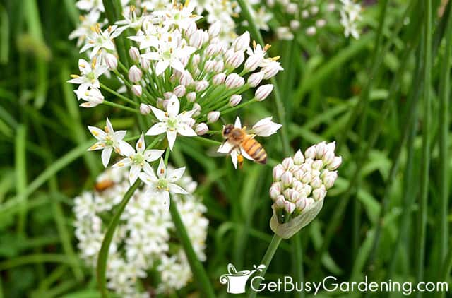 Honey bees on chive flowers