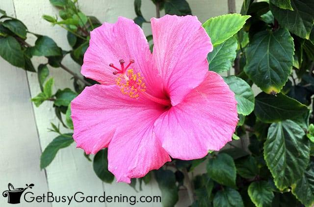 Hot pink hibiscus flower