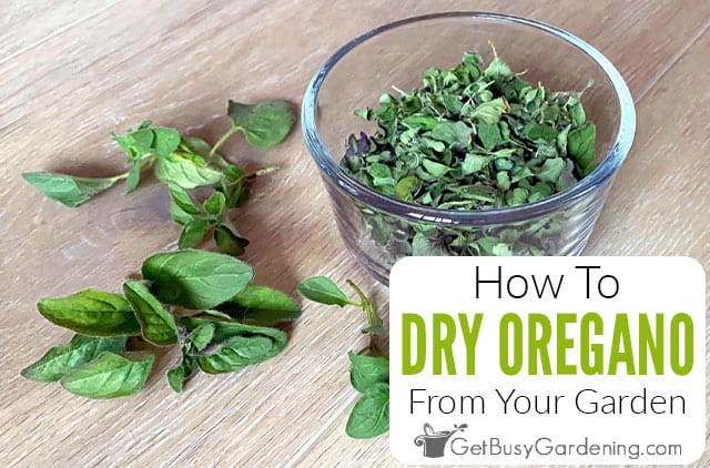 How To Dry Oregano At Home In 4 Different Ways