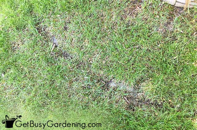 Lawn mower tire tracks damage to the grass