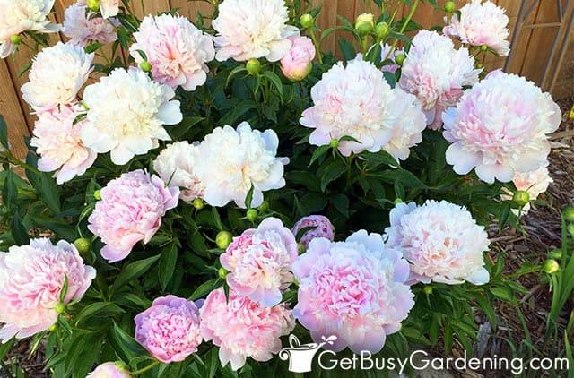 Light pink perennial peony flowers
