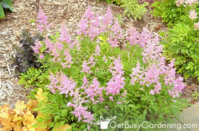 Long pink spiky astilbe flowers