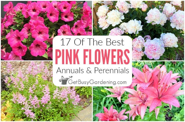 17 Pink Flowers For Your Garden (Annuals & Perennials)